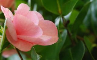 Pink Rhody