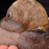 Moon Snails